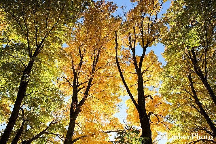 Vermont Sugar Maples