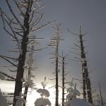 Long Trail Trees